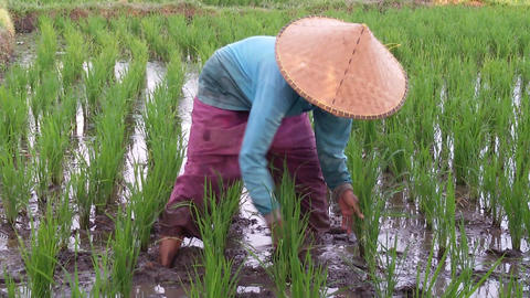 Woman working in the rice fields in Indonesia Live Action