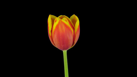 Growing, opening and rotating red-yellow tulip, 4K with ALPHA channel Footage