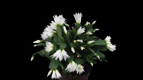 Growing and rotating white Easter cactus, 4K with ALPHA Footage