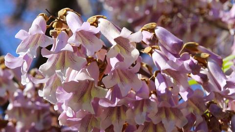 Princess Tree Flowers Paulownia Tomentosa Blossom Close-up stock footage