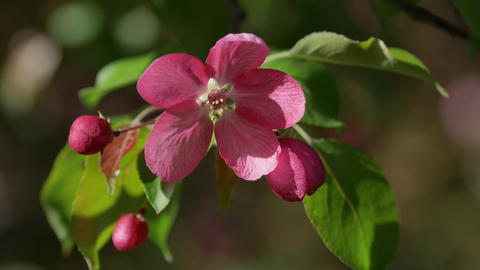 Branch of Blooming Pink Apple Tree Close Up View Footage