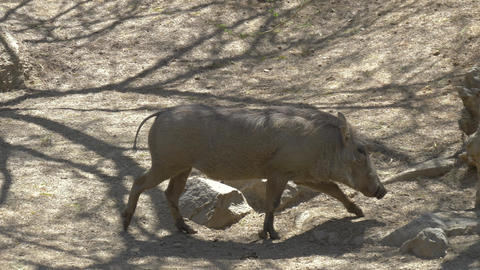 African warthog family in the wildlife Footage