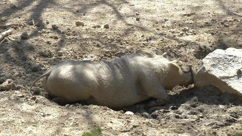 African Wild Pig - Warthog Footage