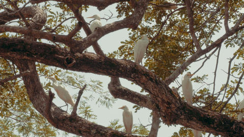 White cattle egrets in a tree Footage