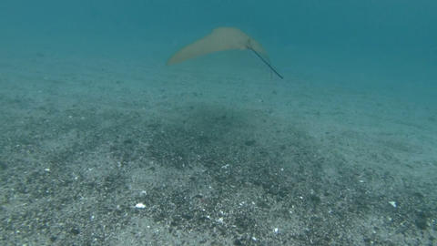 Swimming with a stingray Footage