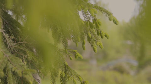 Green fir tree branch moving in the light wind breeze. Closeup of pine tree Live Action