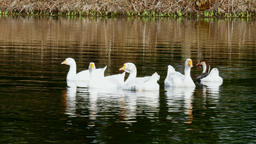A flock of white geese swims on surface of pond Footage