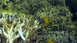 Yellow sea fish underwater in ocean of wildlife Philippines Footage