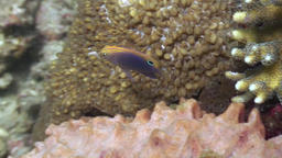 Yellow fish in coral in search of food in ocean of wildlife Philippines Footage