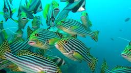 School of unique exotic bright yellow striped fish underwater in Maldives Footage