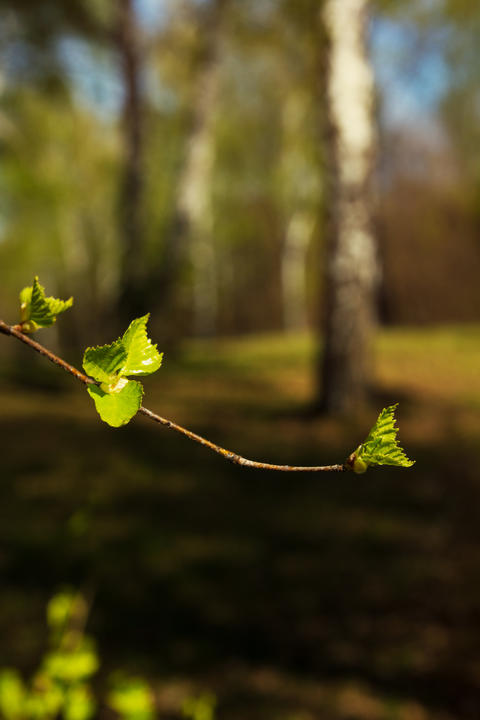 Young leaves on a birch branch on a spring day フォト