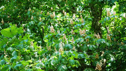 Close-up of Horse-Chestnut Tree, Aesculus hippocastanum Footage
