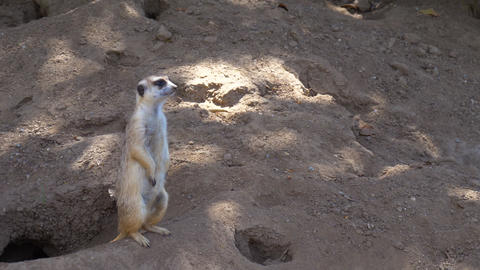 Suricata standing on a guard 영상물