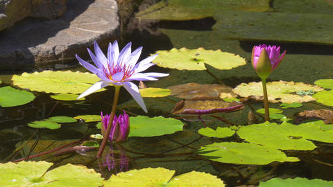 Water lily in pond Archivo