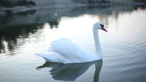 Lonely Swan swims in a small lake 영상물