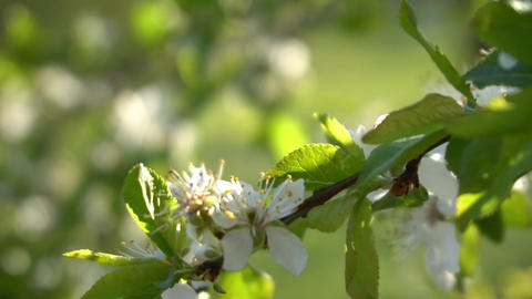 Fruit Tree Blossom Blown By The Wind 2 Footage