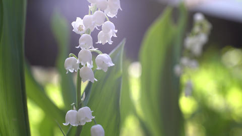 Lily of the valley Stock Video Footage