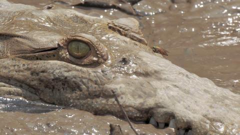 Wild crocodile in a Costa Rica river Footage