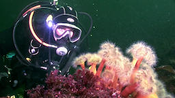 Scuba diver and white fluffy metridium underwater on seabed of White Sea Footage