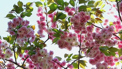 Oriental Cherry Blossom Footage
