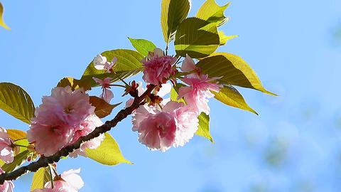 Oriental Cherry Flowers Footage