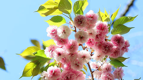 Sakura Prunus Serrulata Oriental Cherry Footage