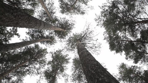 Pine trees silhouettes bottom view landscape Live Action