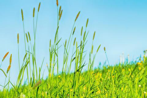 Flowering grass in detail - Allergens - Allergy フォト