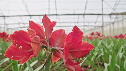 Amaryllis plants inside a large nethouse Footage