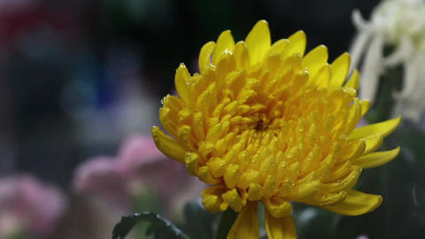 Yellow chrysanthemum in the mist Footage
