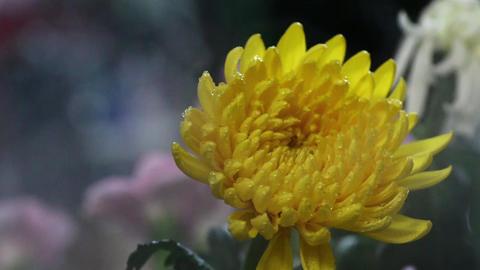 霧の中の一輪の黄色い菊の花 動画素材, ムービー映像素材
