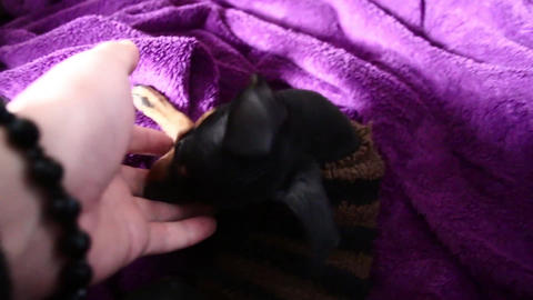 puppy playing with her owner at room miniature pinscher Footage
