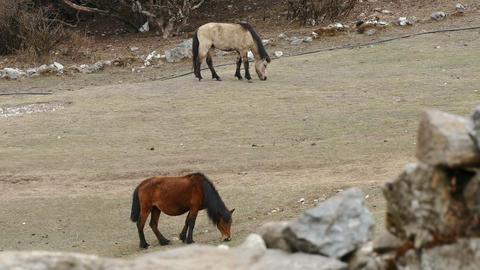 Nepalese Mules 4k Footage