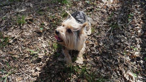 Yorkshire Terrier Dog on the brown grass Fotografía