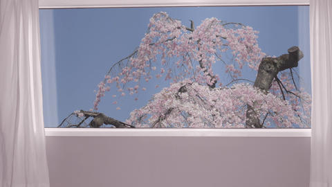 Hands joining together, cherry or sakura bloom outside the window Live Action