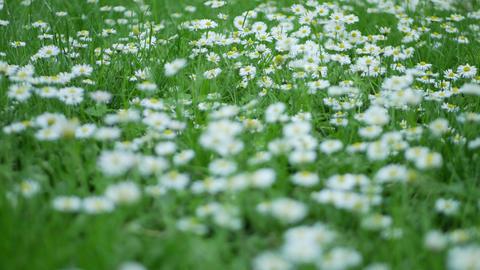Dandelions in spring garden GIF