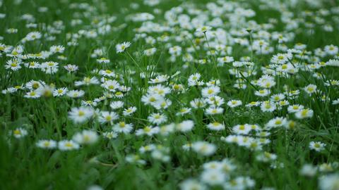 Dandelion flowers moving from spring breeze ภาพวิดีโอ