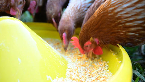 Chicken eggs eating food. Animal 영상물