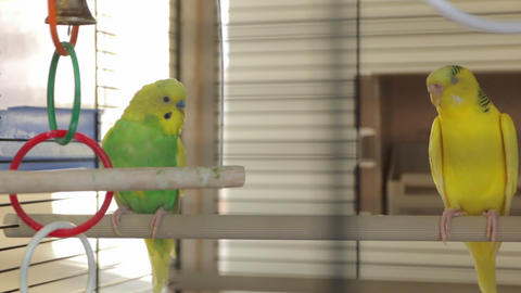 The Yellow Green Parrots 영상물