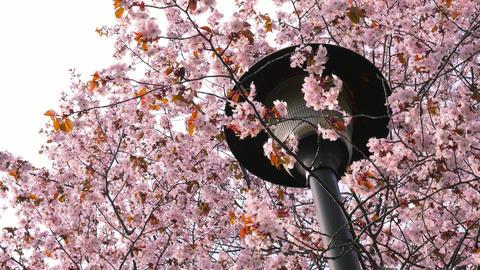 Sakura, Cherry blossom 4K 영상물