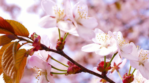 Sakura, Cherry blossom 4K Live Action