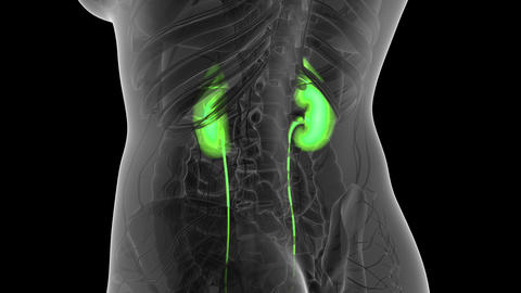 Science Anatomy Scan Of Human Kidneys Glowing Archivo