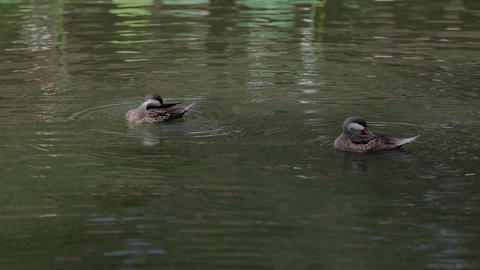 Ducks swimming in swamp in summer, close-up, Garganey Footage