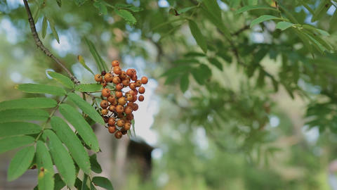 Closeup of orange Rowan berries or Mountain Ash tree with ripe berries in autumn Live Action