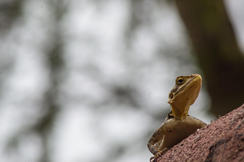 Lizard called agame settlers in the savannah of Amboseli Park フォト