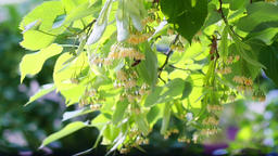 Honey bees on the blossoming yellow linden flowers at sunny day GIF