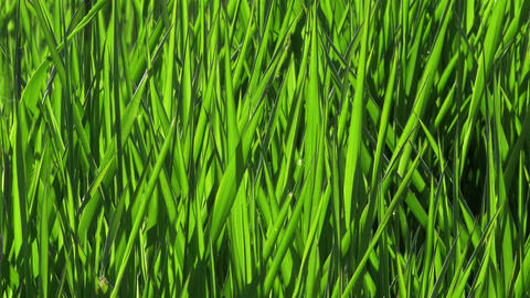 Perfect green grass blowing in the wind close-up - 4k Footage