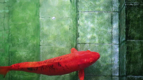 Big red Koi carp fish, swimming up old underwater pool stairs Footage