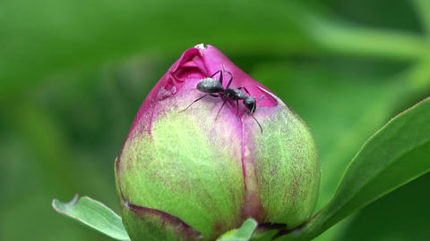 Ant crawling on Peony flower bud. Slow motion 영상물