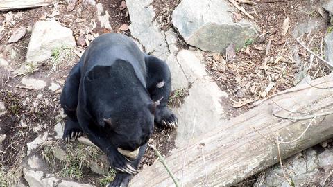 Helarctos malayanus. Beautiful smaller kind of bears Stock Video Footage